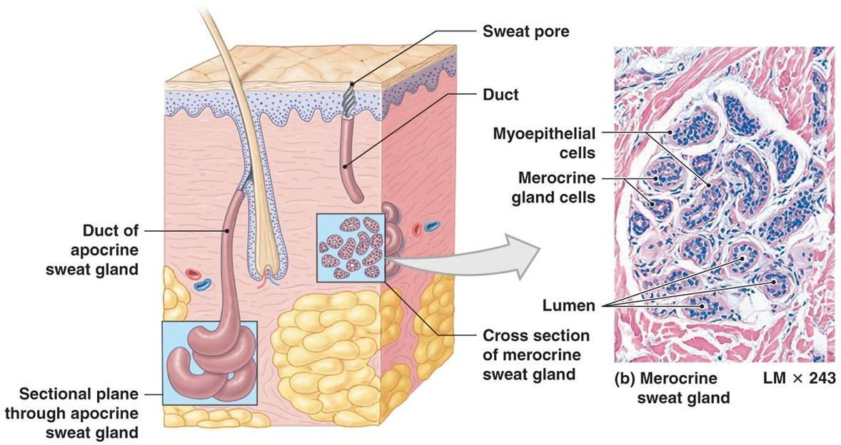 sweat glands quizlet